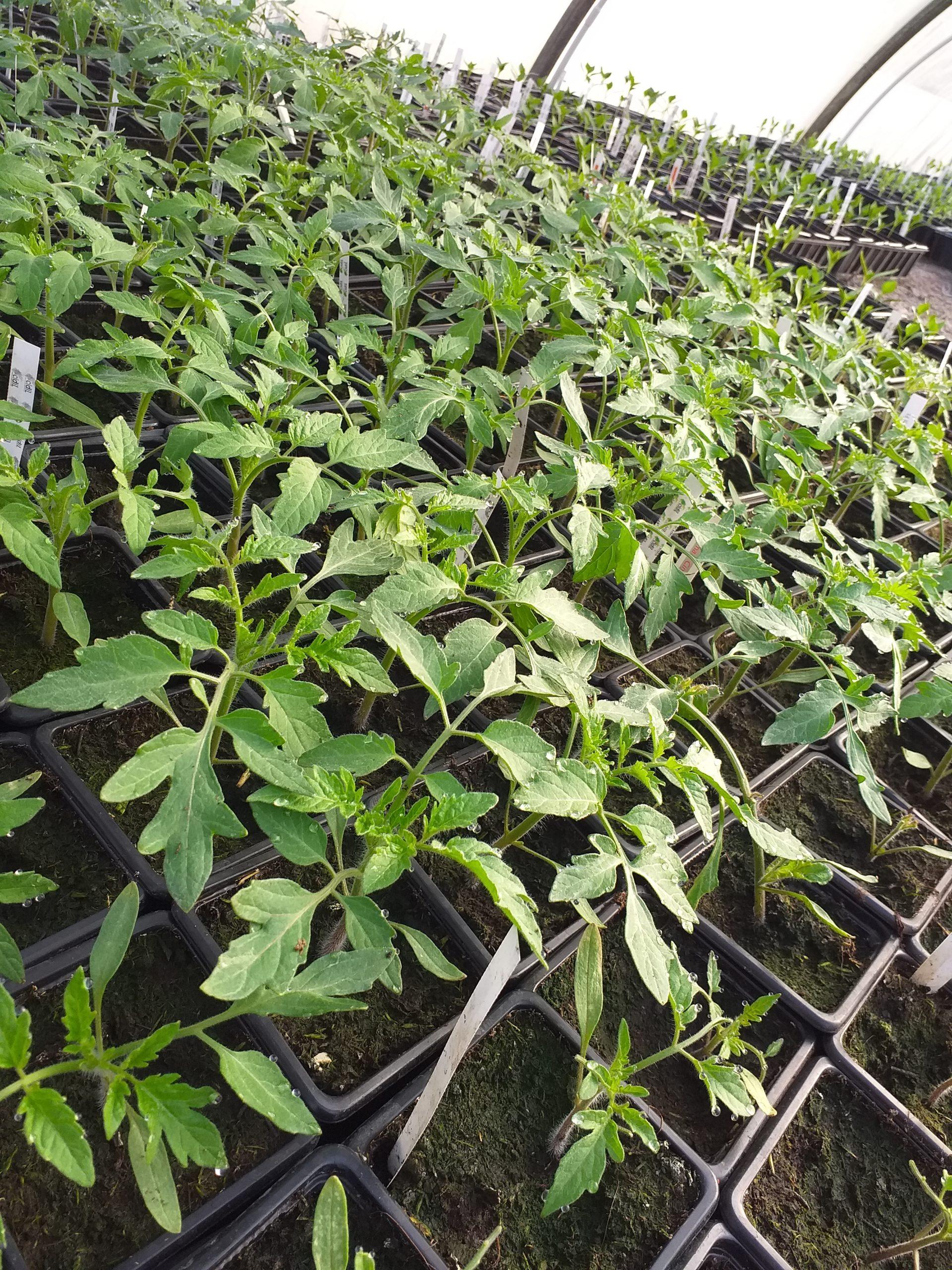 Plants tomates bio